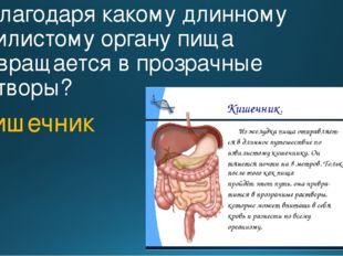 7. Благодаря какому длинному извилистому органу пища превращается в прозрачны