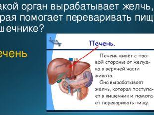 9. Какой орган вырабатывает желчь, которая помогает переваривать пищу в кишеч