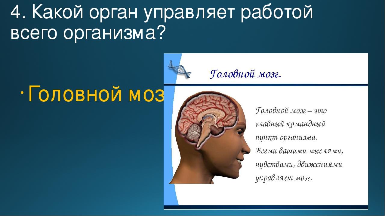 4. Какой орган управляет работой всего организма? Головной мозг