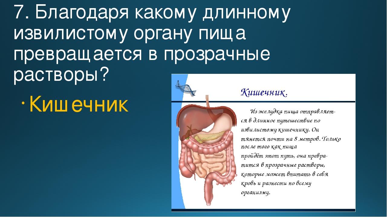 7. Благодаря какому длинному извилистому органу пища превращается в прозрачны...