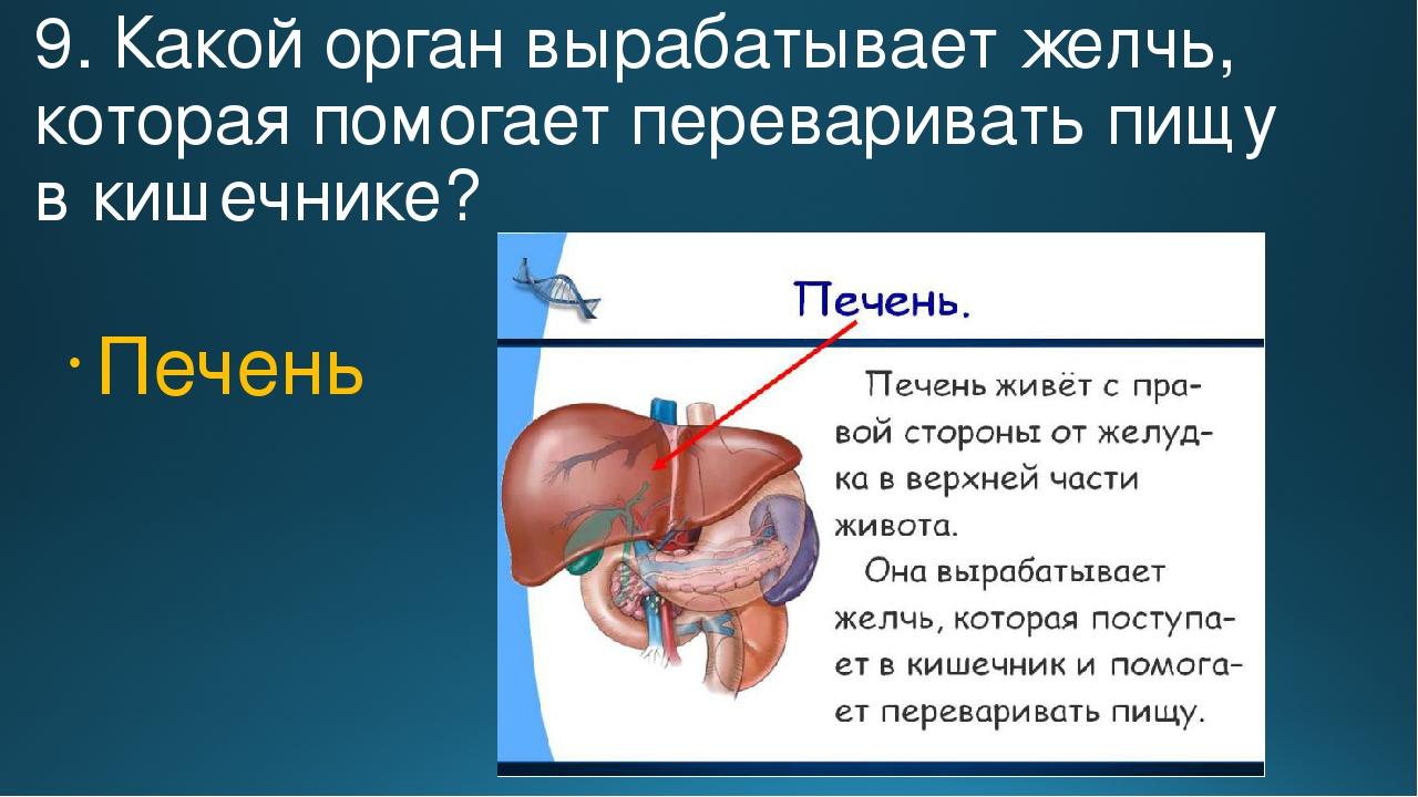 9. Какой орган вырабатывает желчь, которая помогает переваривать пищу в кишеч...