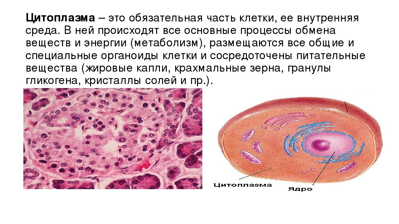 Цитоплазма– это обязательная часть клетки, ее внутренняя среда. В ней происх...