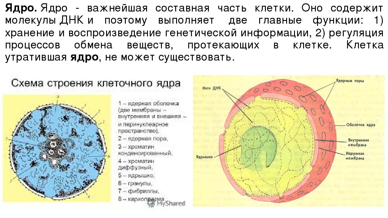 Ядро.Ядро - важнейшая составная часть клетки. Оно содержит молекулыДНКи по...