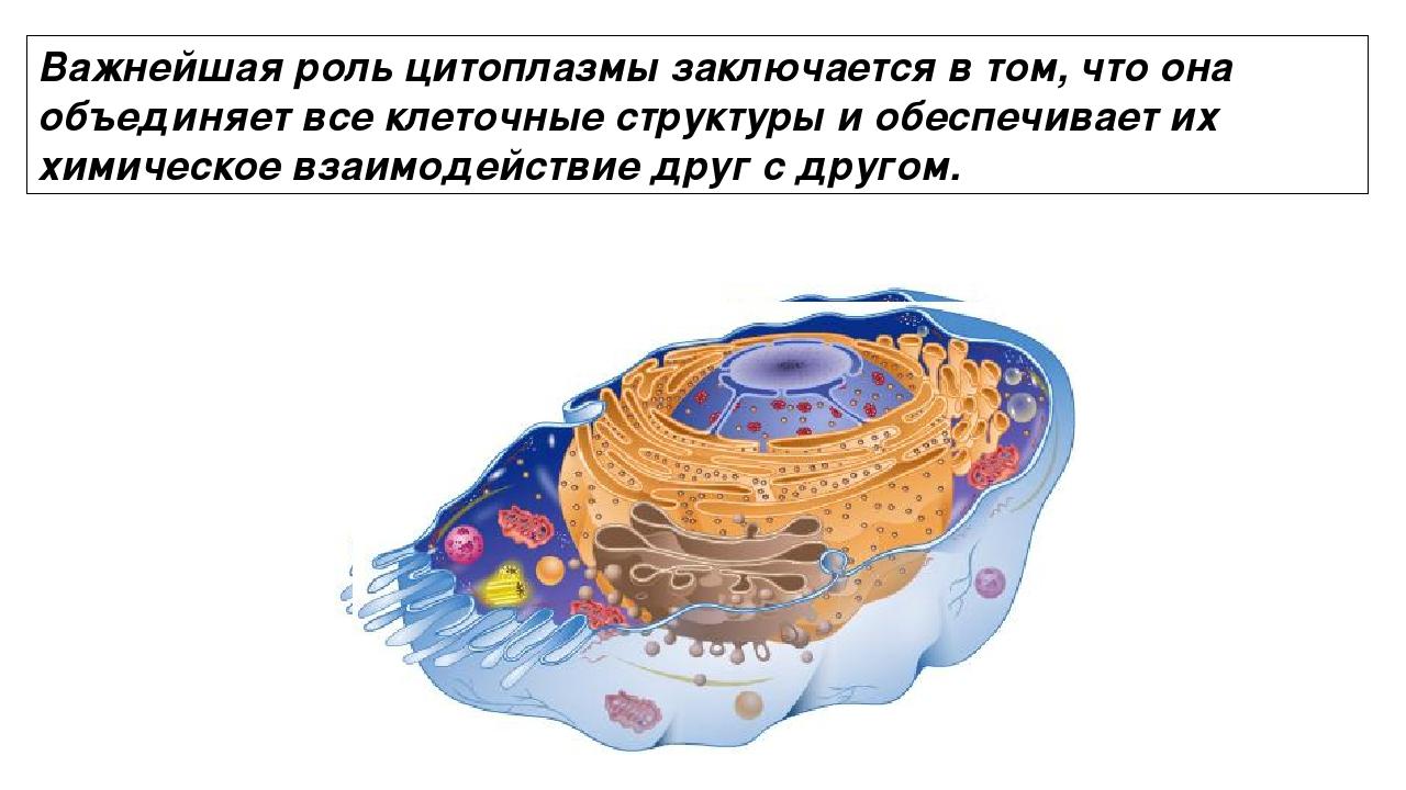 Важнейшая роль цитоплазмы заключается в том, что она объединяет все клеточные...