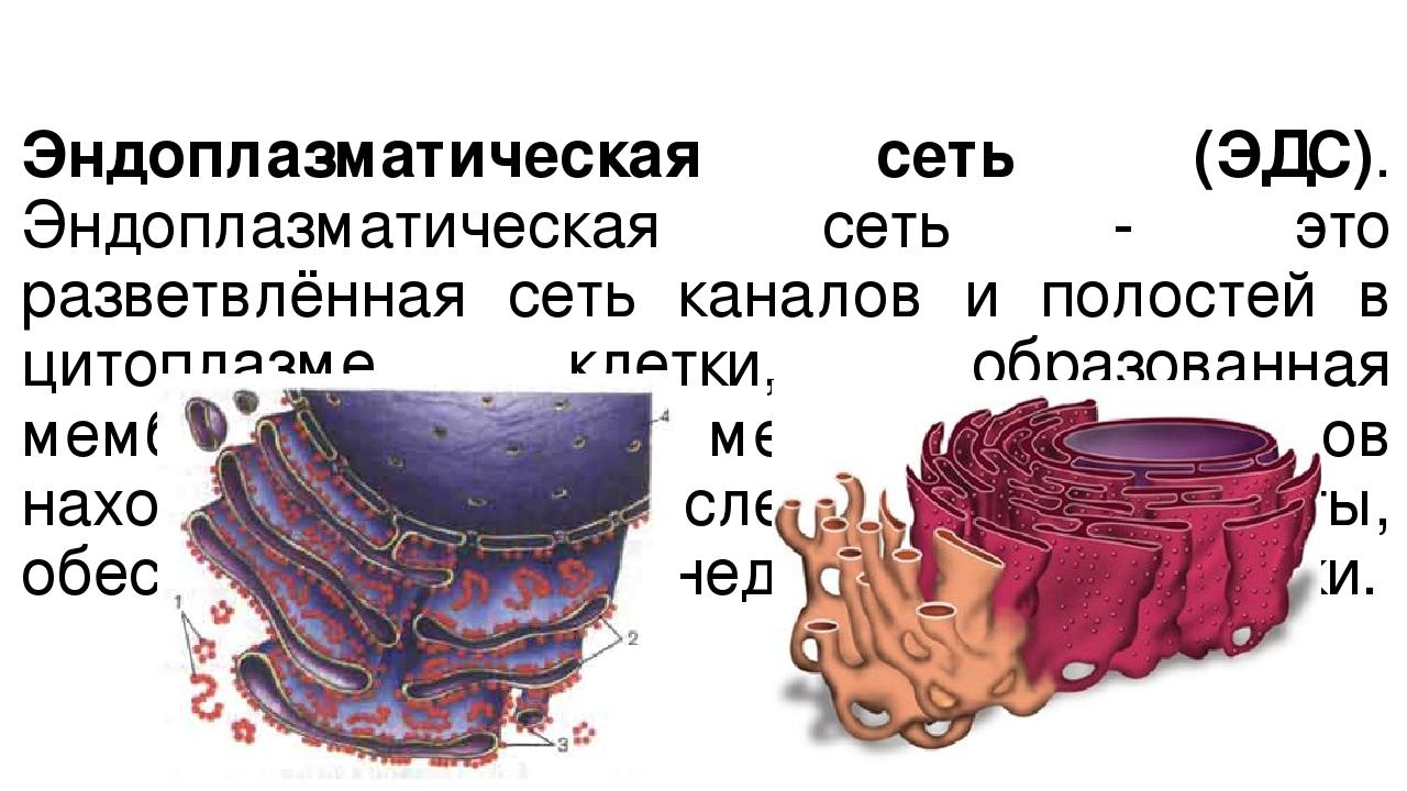 Эндоплазматическая сеть (ЭДС). Эндоплазматическая сеть - это разветвлённая се...