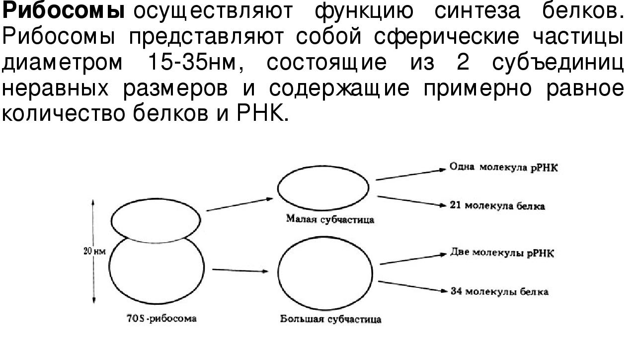 Рибосомыосуществляют функцию синтеза белков. Рибосомы представляют собой сфе...