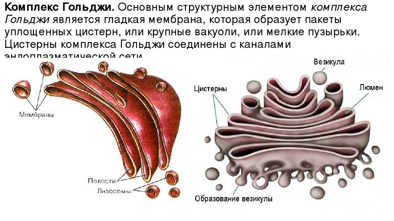 Комплекс Гольджи.Основным структурным элементомкомплекса Гольджиявляется г...