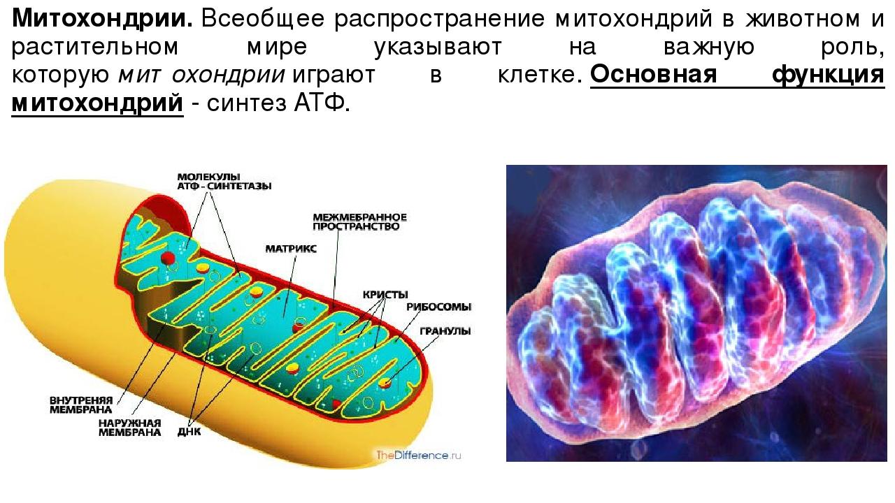 Митохондрии.Всеобщее распространение митохондрий в животном и растительном м...