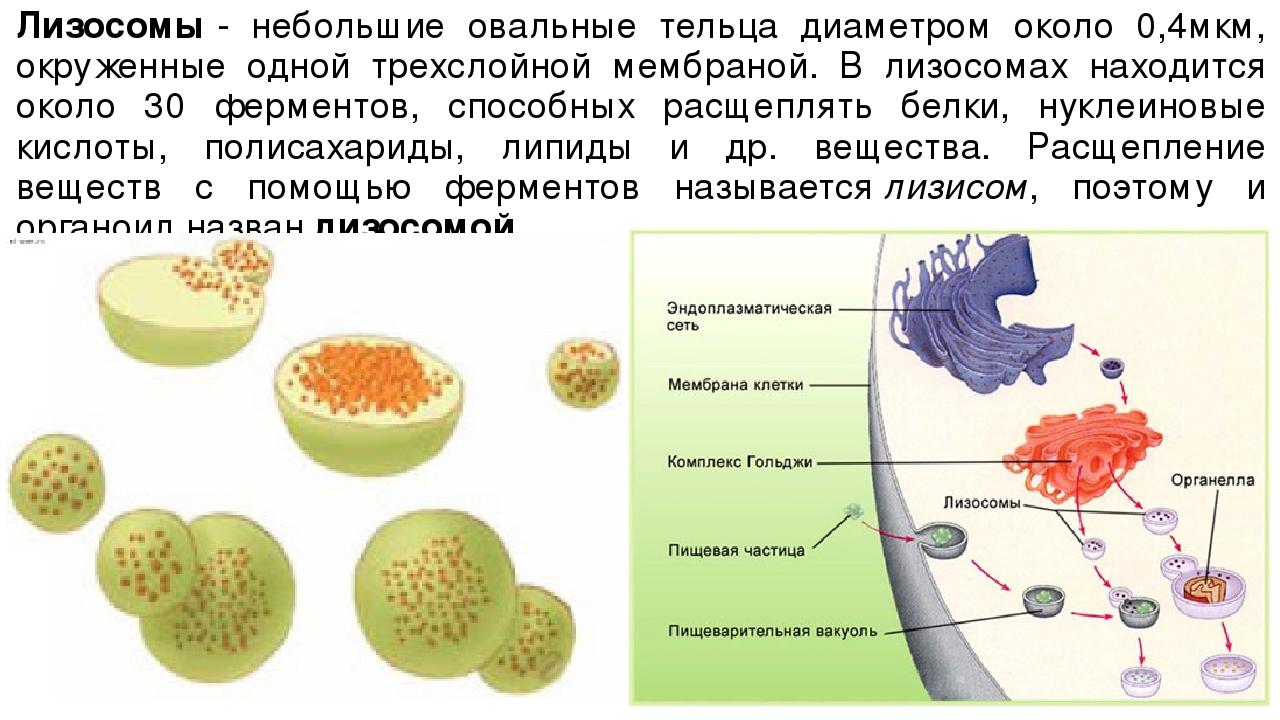 Лизосомы- небольшие овальные тельца диаметром около 0,4мкм, окруженные одной...