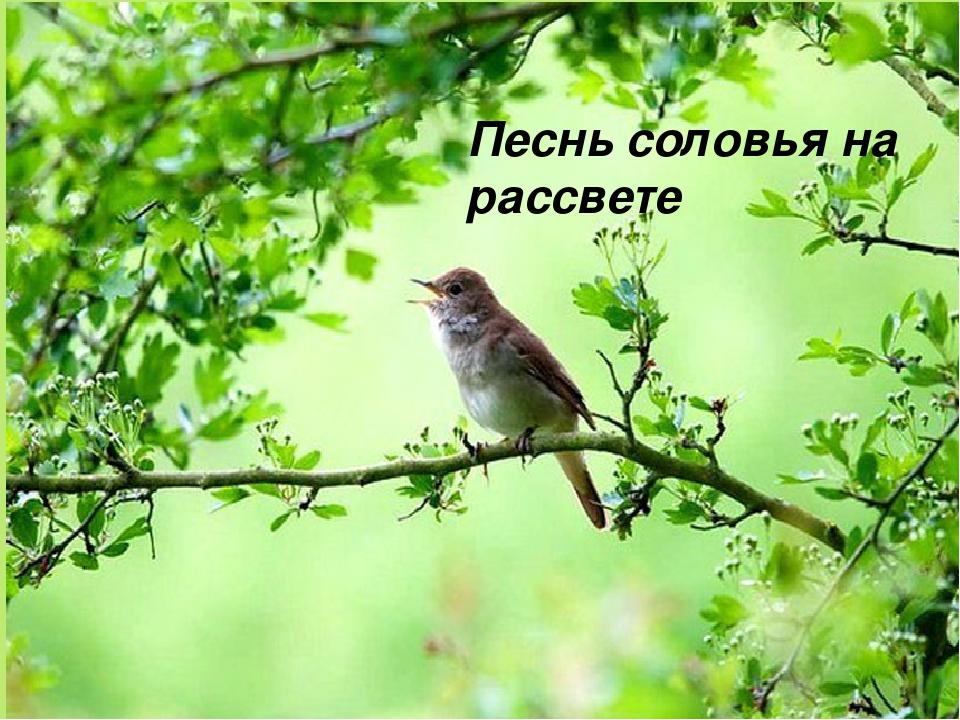Песнь соловья на рассвете
