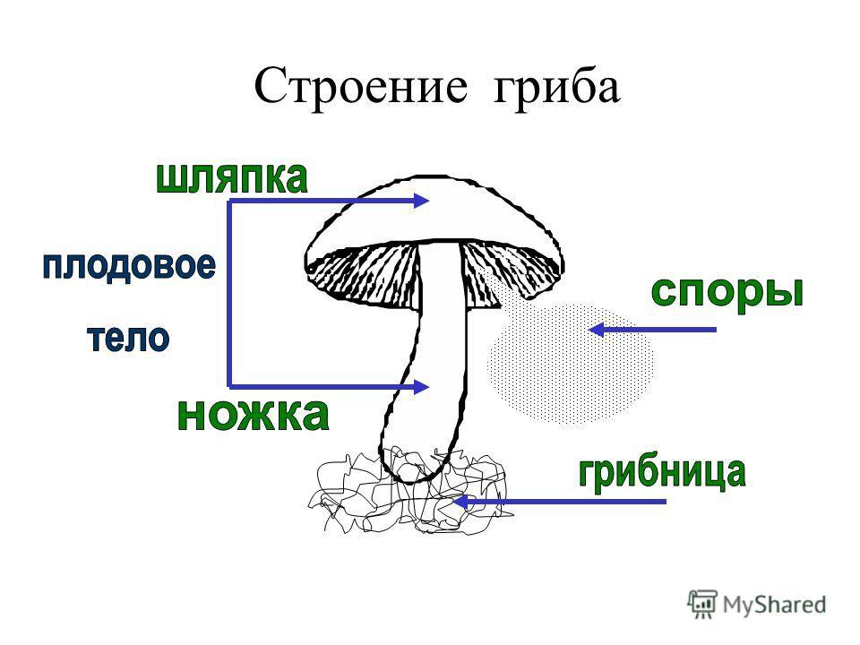 Картинки на тему грибы строение гриба