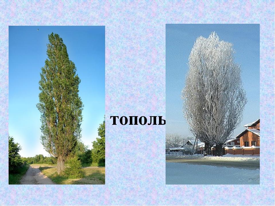 тополь дерево картинка для эффекты пригодятся