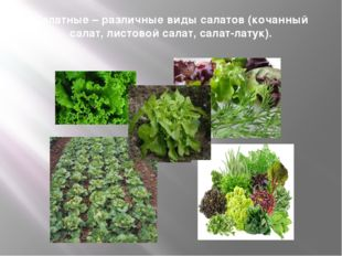 Салатные – различные виды салатов (кочанный салат, листовой салат, салат-лату