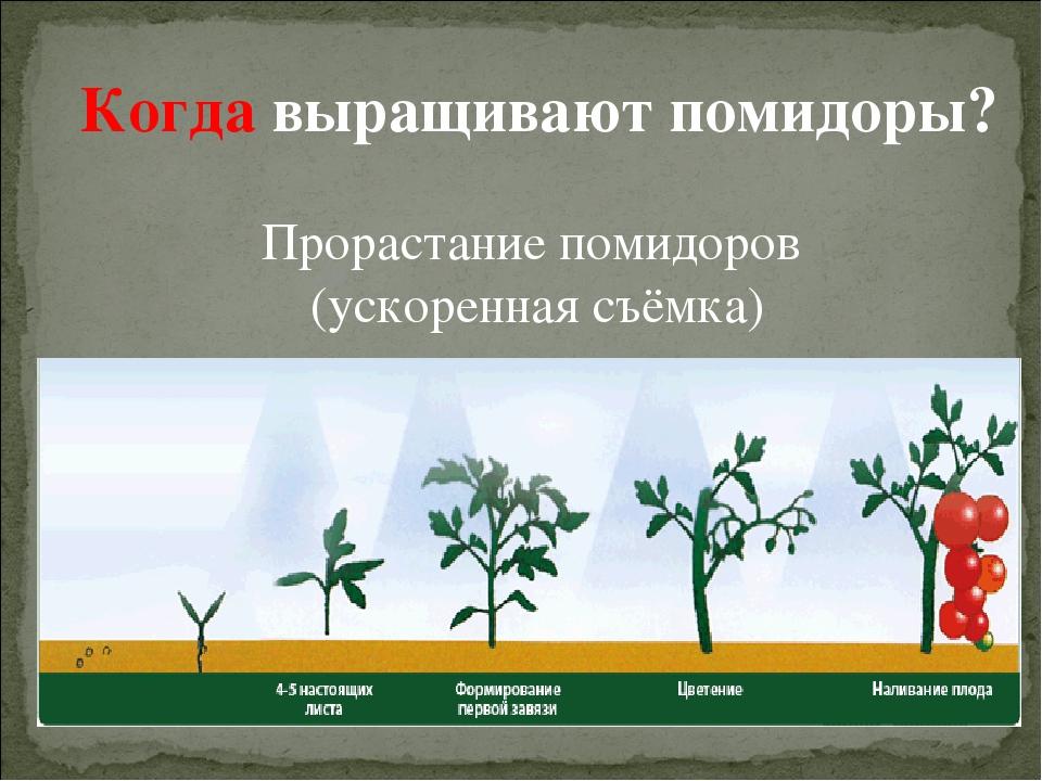 новая этапы выращивания помидоров в картинках люк