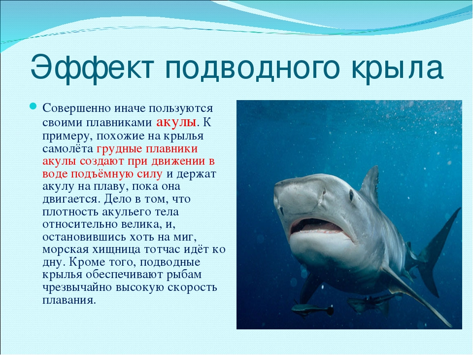 Эффект подводного крыла Совершенно иначе пользуются своими плавниками акулы....