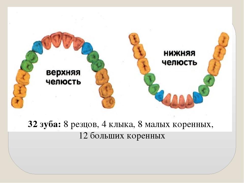 32 зуба: 8 резцов, 4 клыка, 8 малых коренных, 12 больших коренных