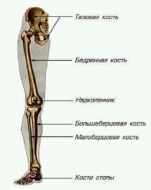 это только больберцовой кости внизу ноги сомневайтесь своем