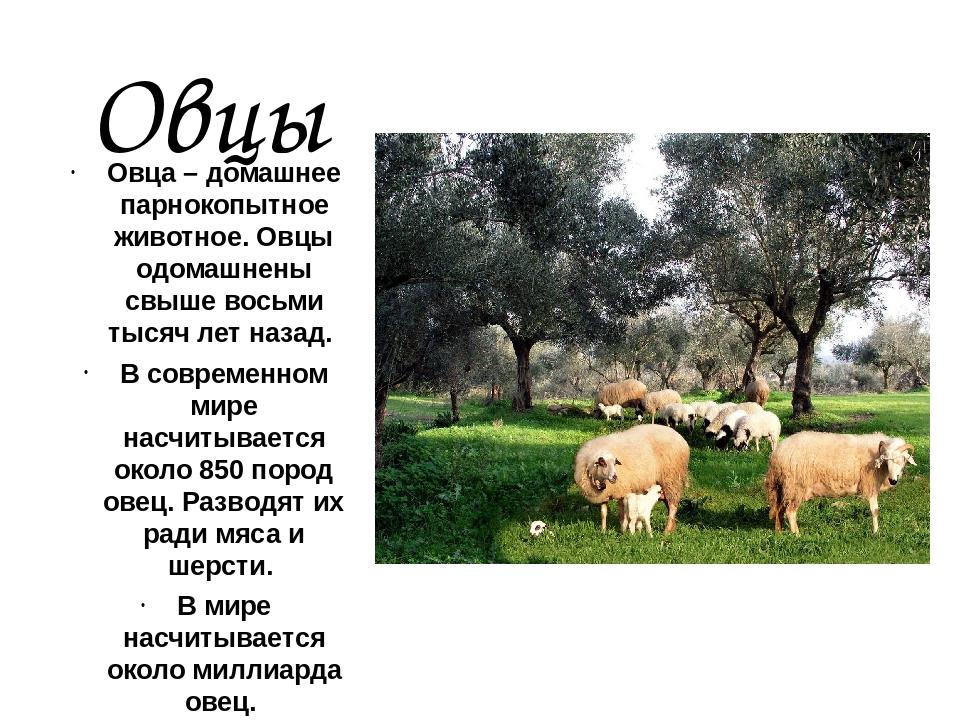 Овцы Овца – домашнее парнокопытное животное. Овцы одомашнены свыше восьми тыс...