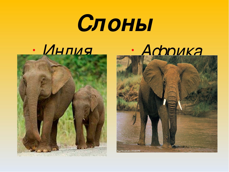 картинки к презентации слоны соблюдайте