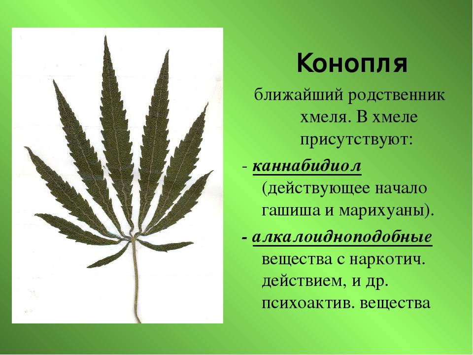 Как марихуана вредна мамалыга из конопли