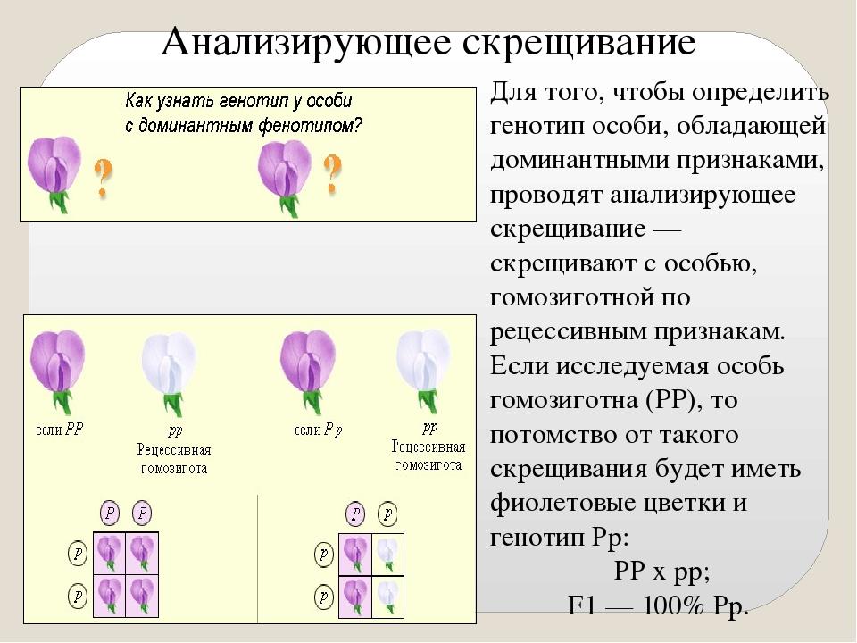 Анализирующее скрещивание Для того, чтобы определить генотип особи, обладающе...