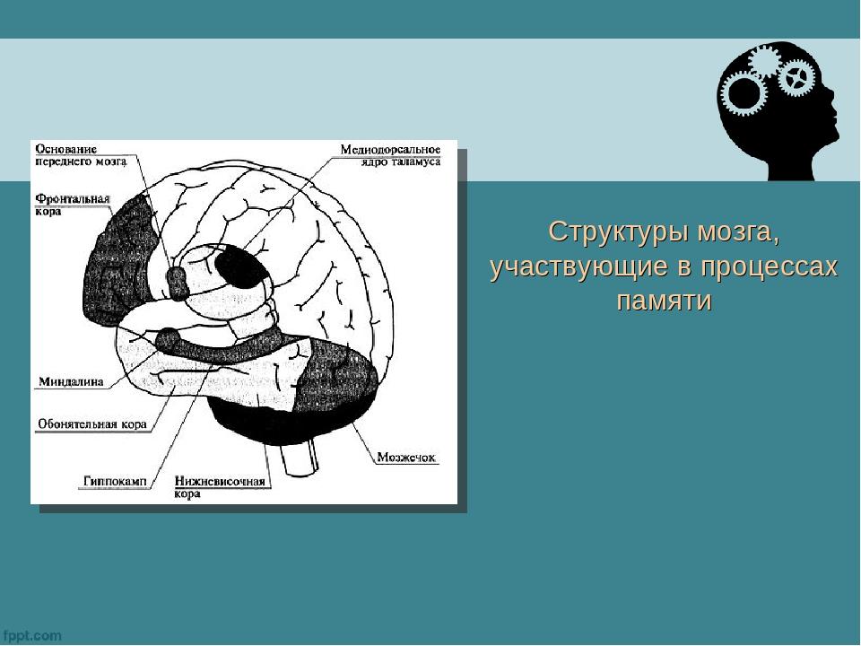 Структуры мозга, участвующие в процессах памяти