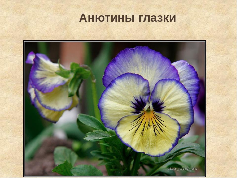 Анютины глазки стихи ахматовой