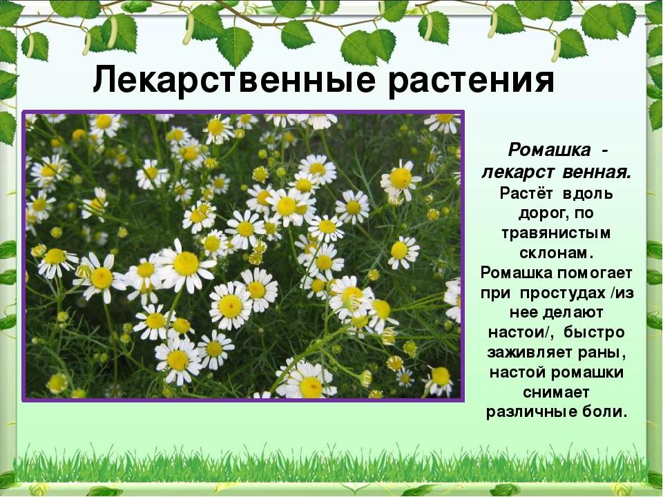 Трава ромашка лечебные свойства польза