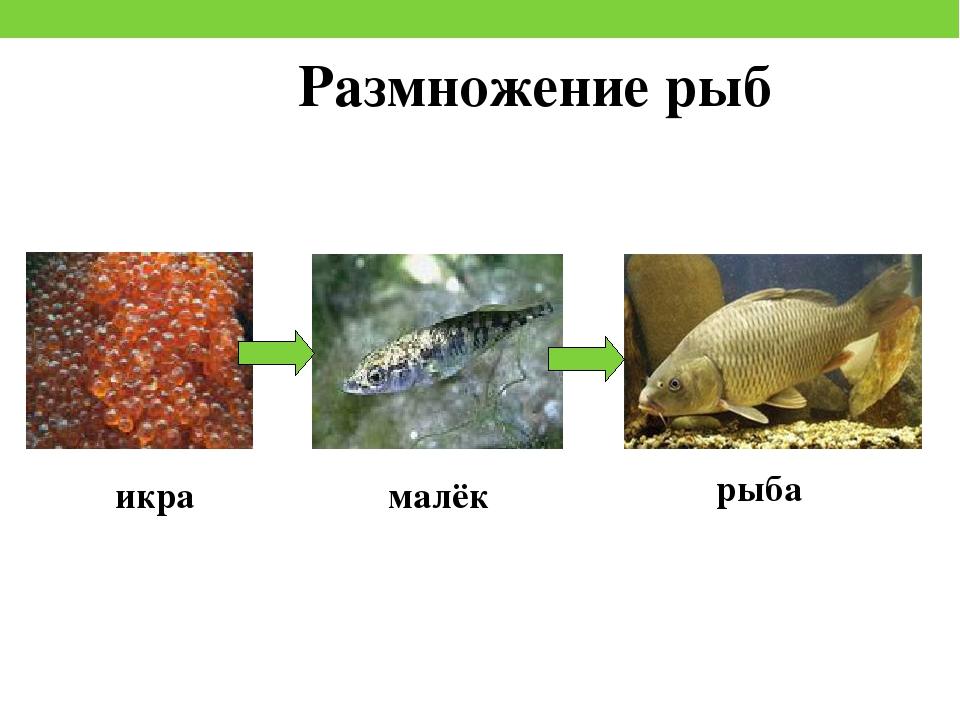 ичалки размножение и развитие потомства у рыб фото инородного тела почти