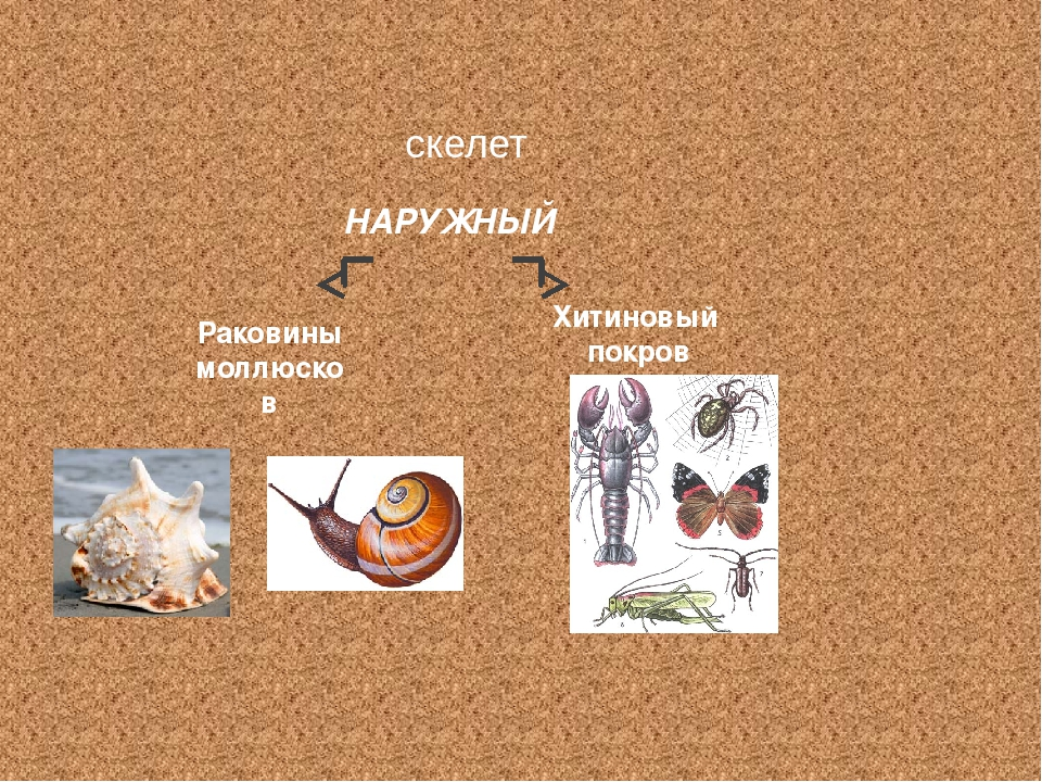 НАРУЖНЫЙ скелет Раковины моллюсков Хитиновый покров