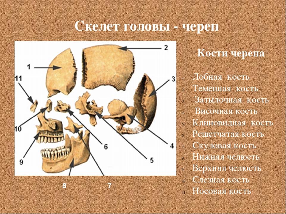 Кости черепа Лобная кость Теменная кость Затылочная кость Височная кость Клин...
