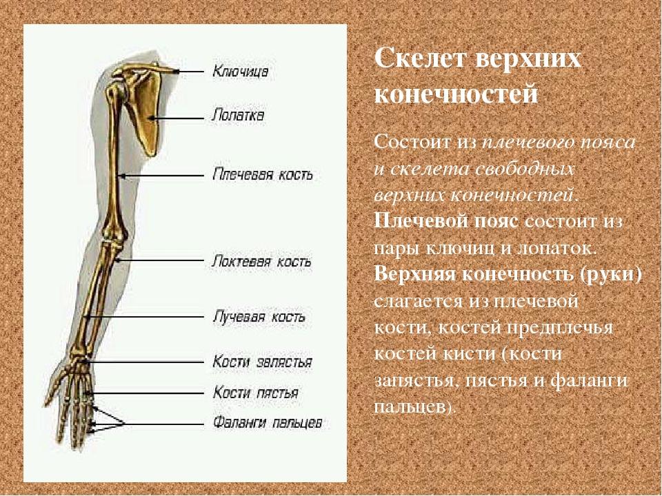 Состоит из плечевого пояса и скелета свободных верхних конечностей. Плечевой...