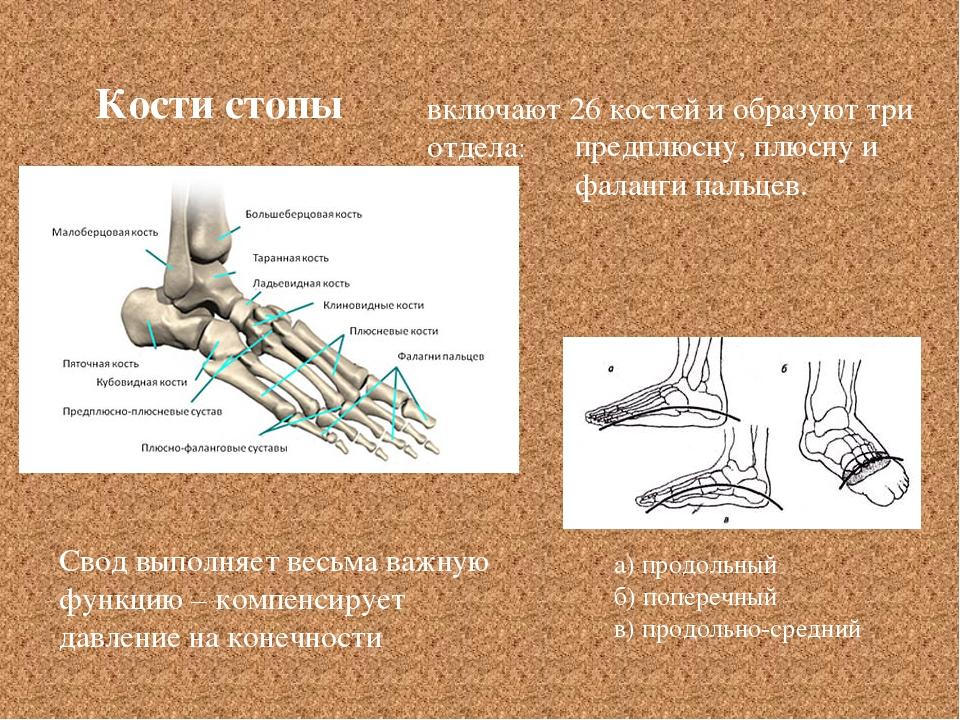 Кости стопы Свод выполняет весьма важную функцию – компенсирует давление на к...