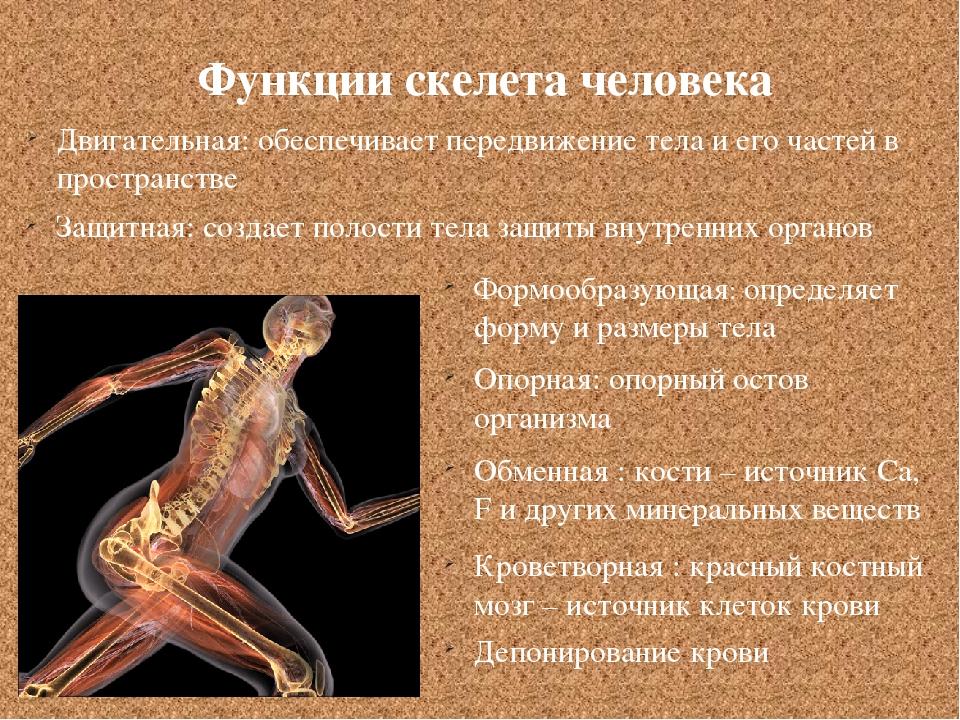 Функции скелета человека Двигательная: обеспечивает передвижение тела и его ч...