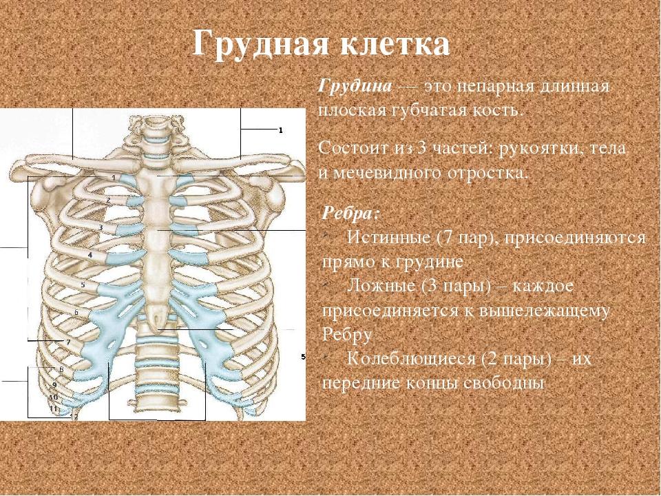 Грудная клетка Грудина — это непарная длинная плоская губчатая кость. Состоит...