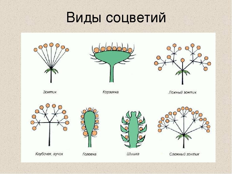 Картинки цветка и соцветия