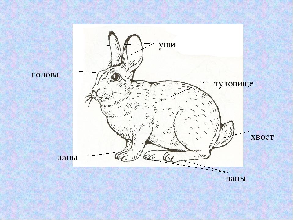 строение кролика картинках часто