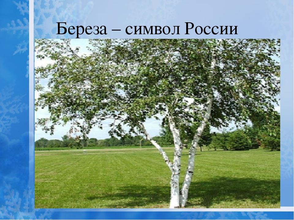 Береза-символ россии картинки