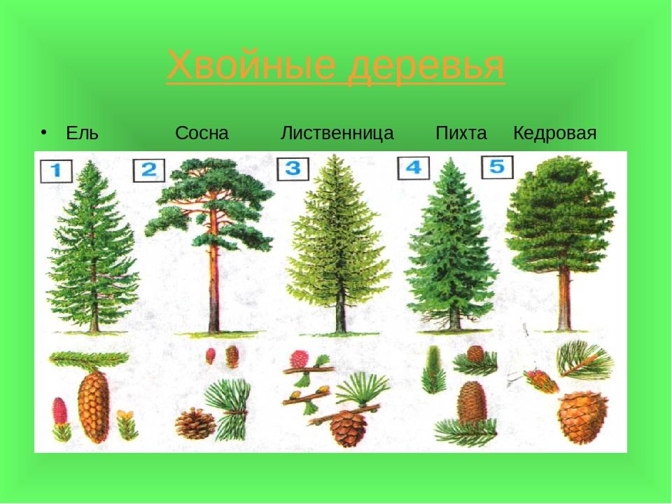Картинки с хвойными деревьями для детей, классная материалы для