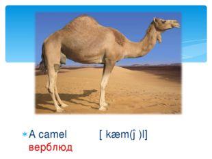 A camel [ʹkæm(ə)l] верблюд