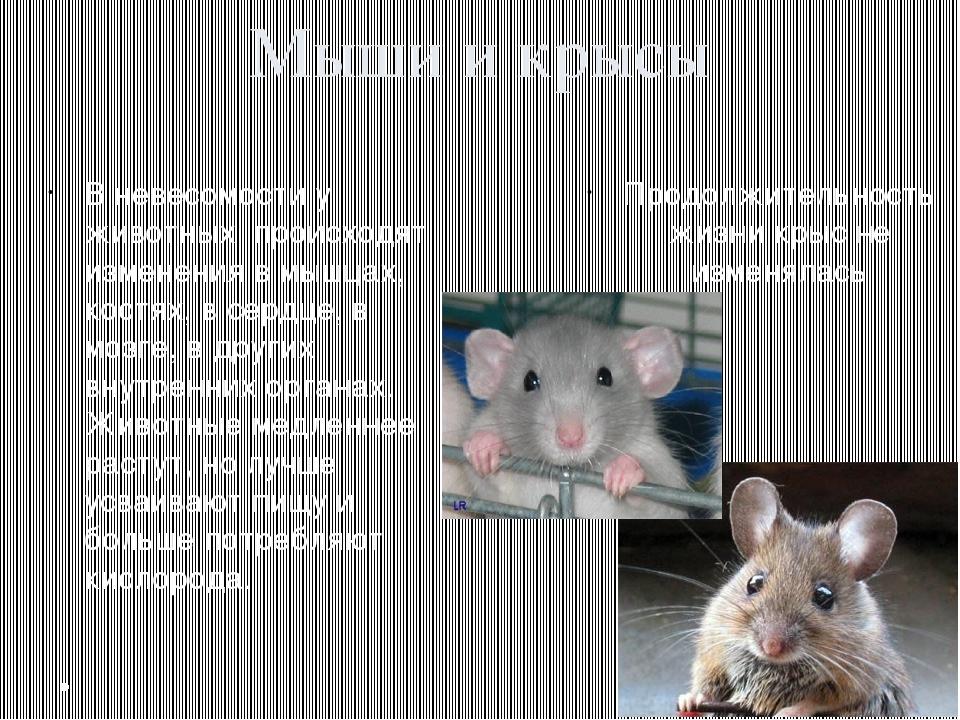 Мыши и крысы В невесомости у животных происходят изменения в мышцах, костях,...
