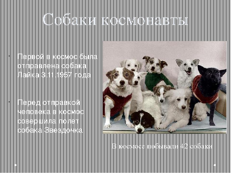Собаки космонавты Первой в космос была отправлена собака Лайка 3.11.1957 года...