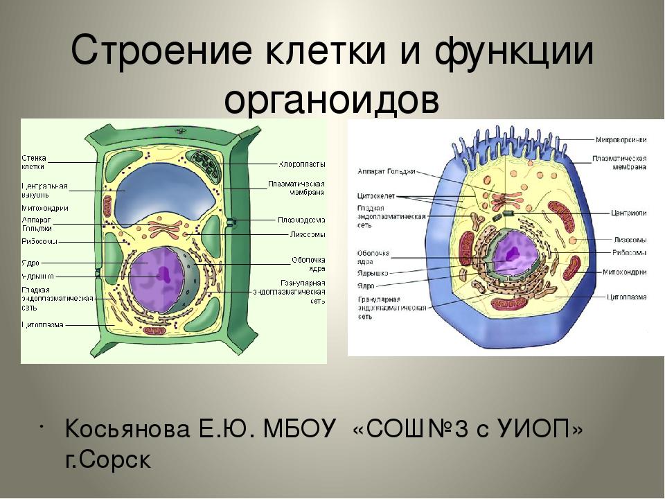 Органоиды клетки и их функции краткр