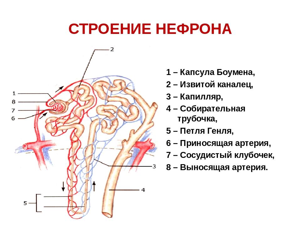 ищете структура нефрона картинка вызвал лагоде скорую