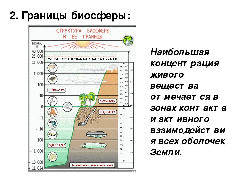 2. Границы биосферы: Наибольшая концентрация живого вещества отмечается в зон...