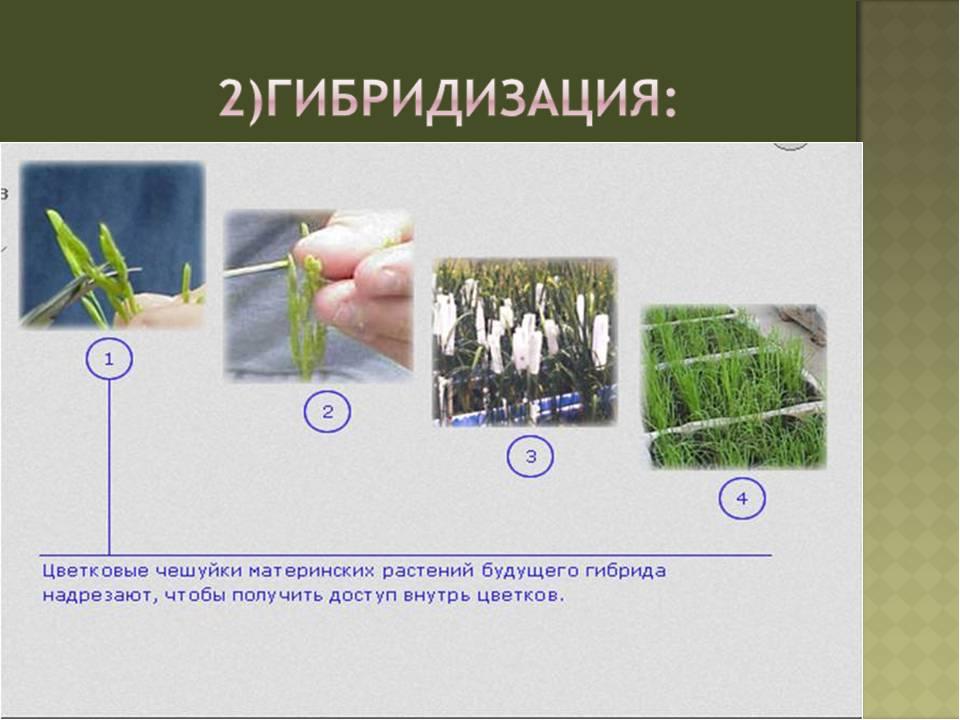 картинки гибридизации растений что же