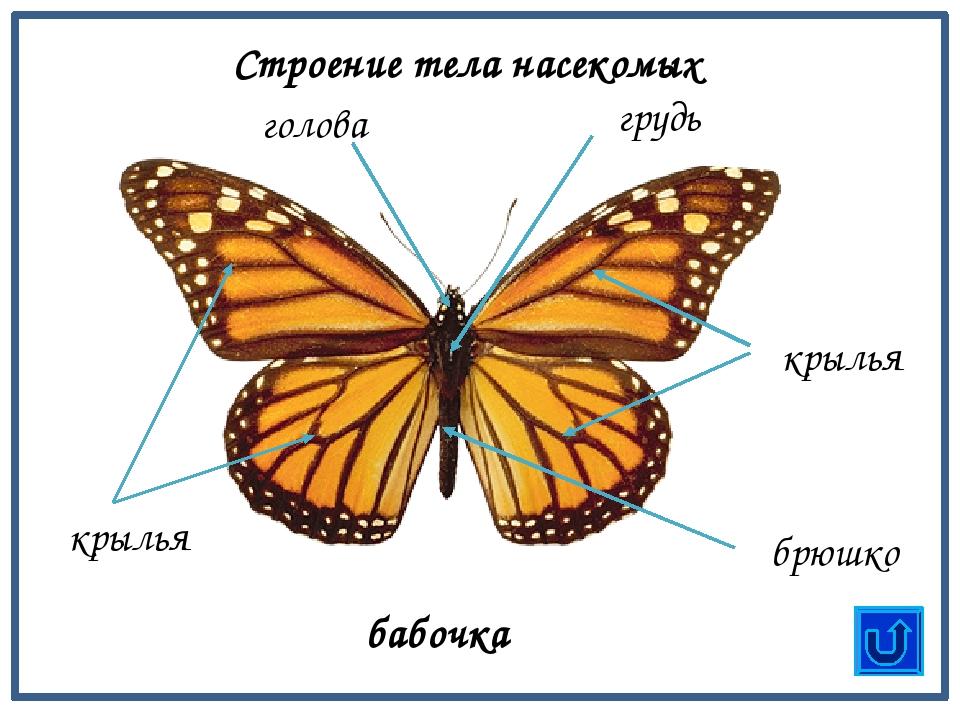 Бабочки картинки строение