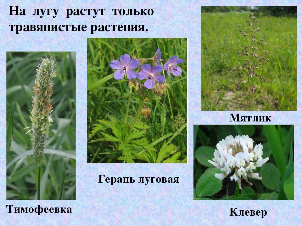 цветы луга фото и названия имеет большого практического