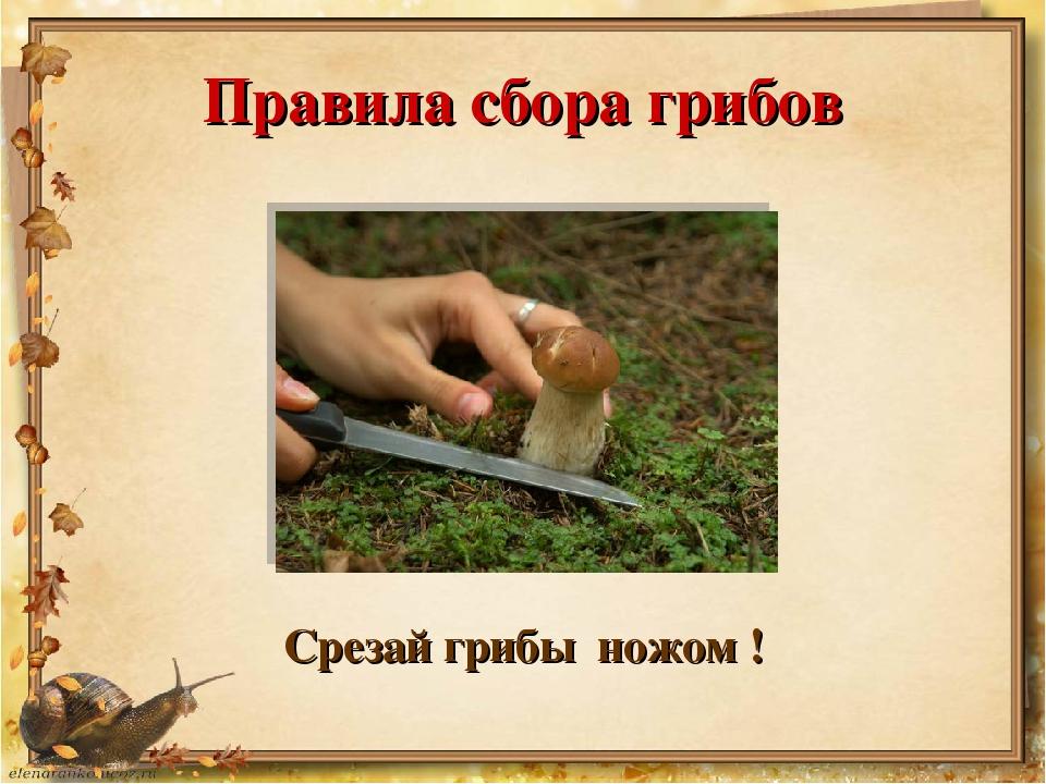 Правила сбора грибов Срезай грибы ножом !