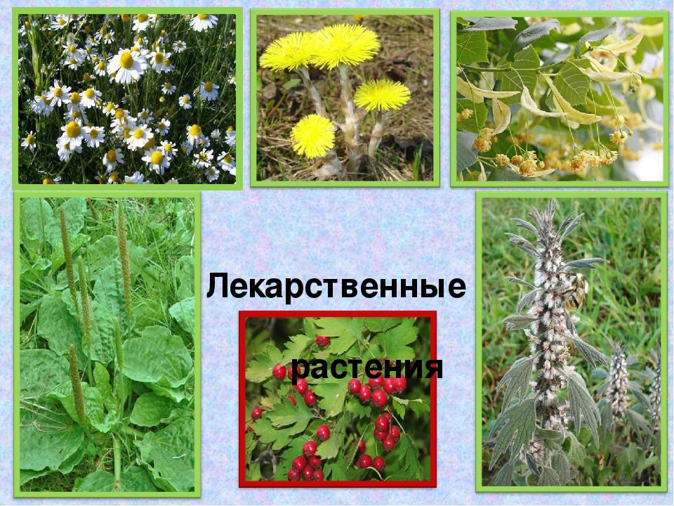 Лекарственные растения перечень с фото